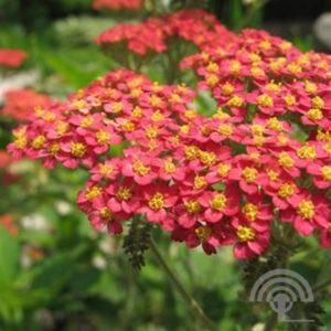 Duizendknoop Bijenvriendelijke Planten