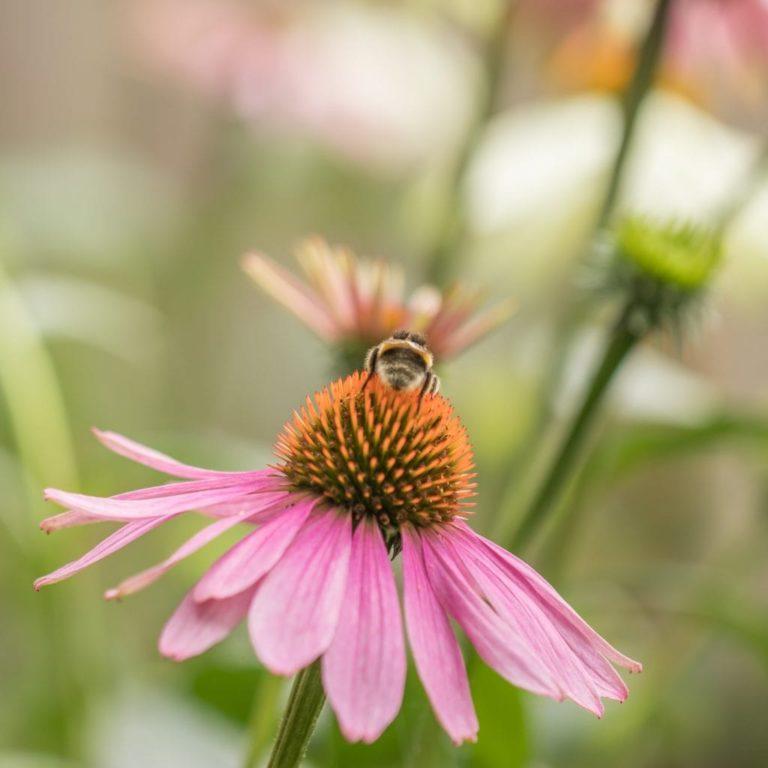 Zonnehoedskruid Bijenvriendelijke planten