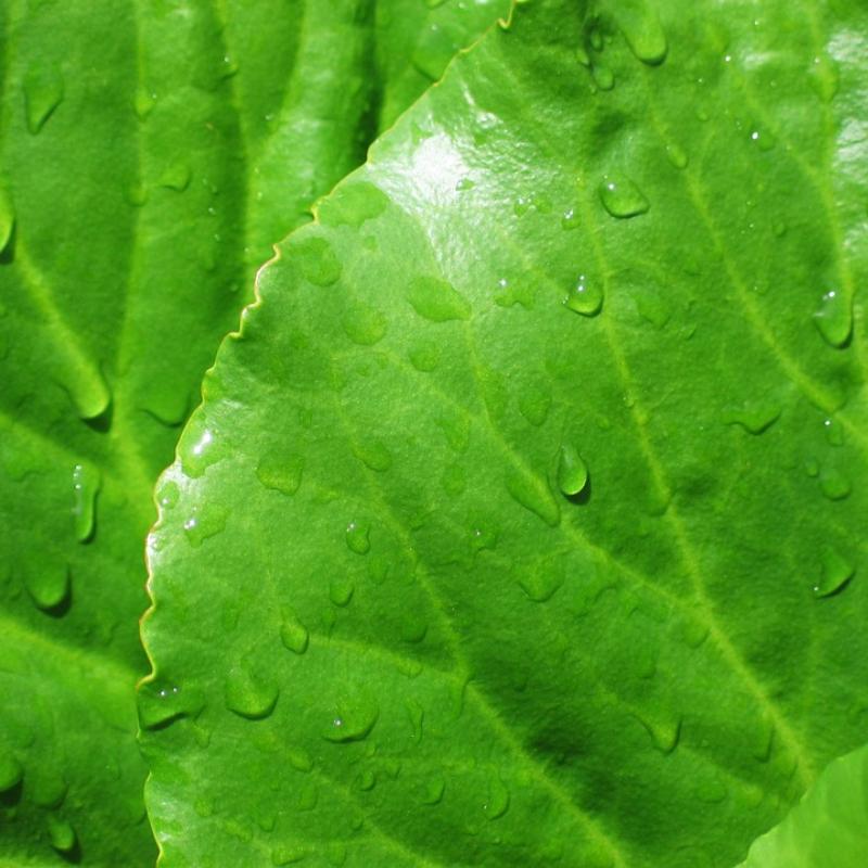 Bergenia cordifolia blad