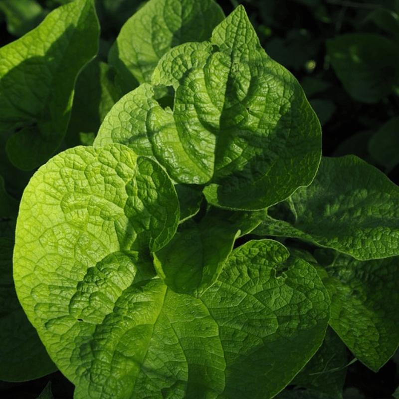 Brunnera macrophylla blad