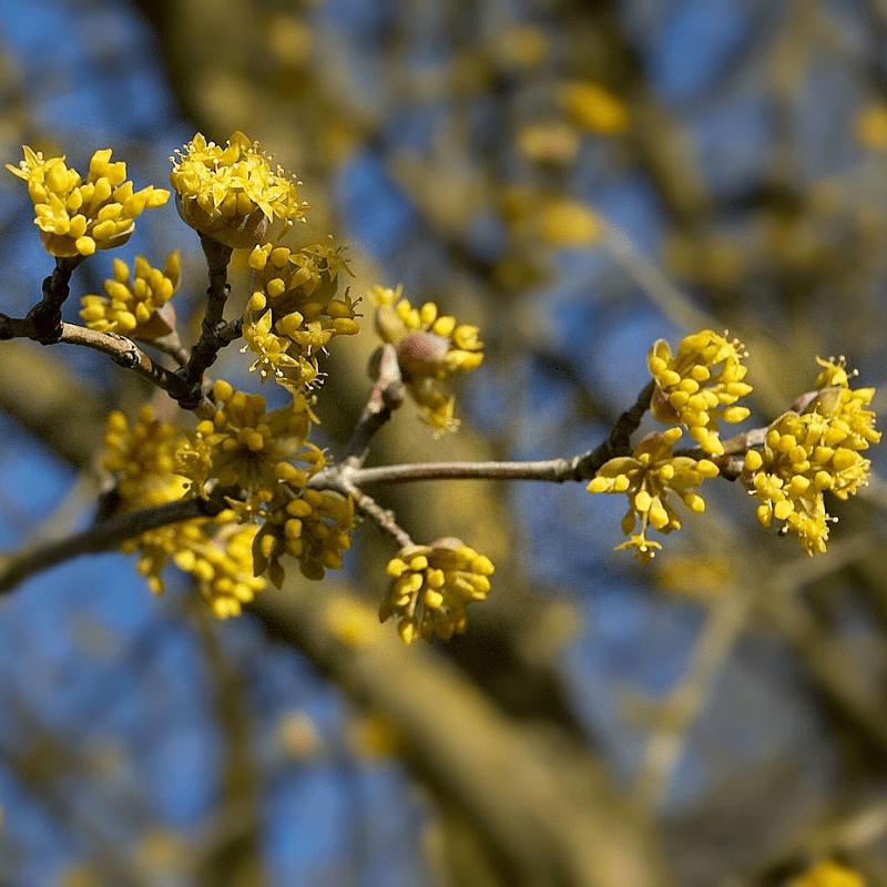 Cornus mas bloei