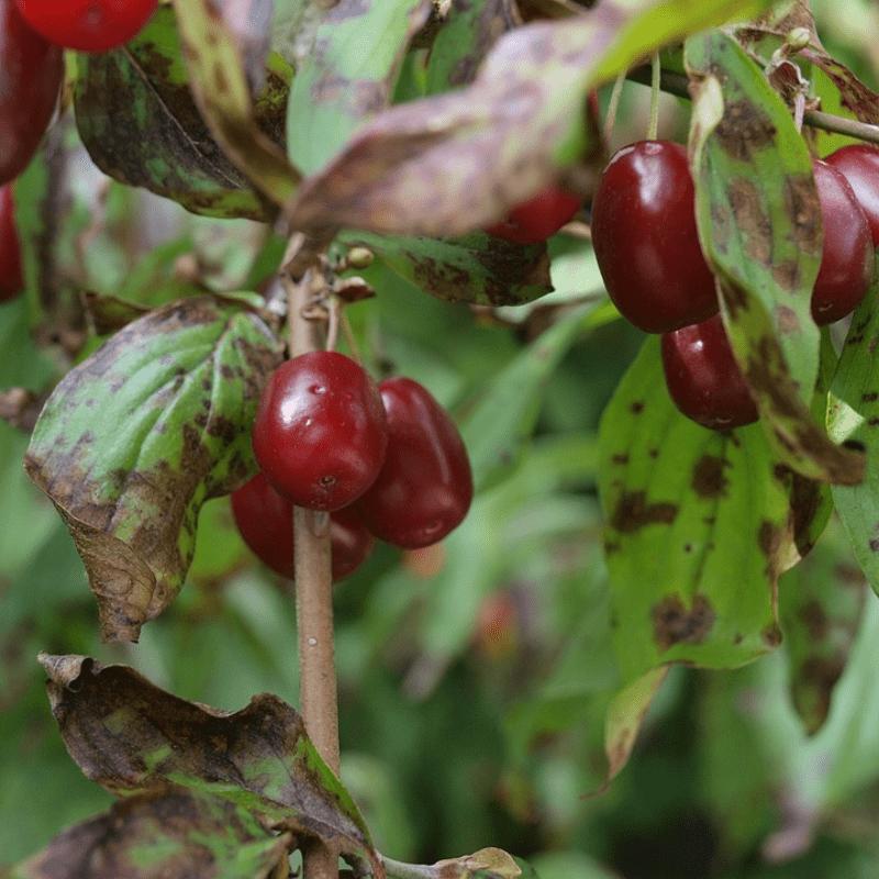 Cornus mas vrucht
