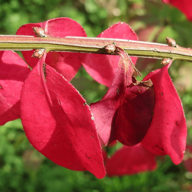 Euonymus alatus blad rood
